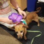 Oliver the dog gets dressed up by PCFCU employee
